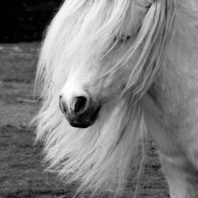 zarostlý kůň