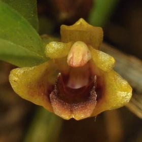Christensonella pumila(Maxillaria plebeja)