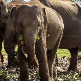 Srí Lanka - Pinnawala Elephant Orphanage