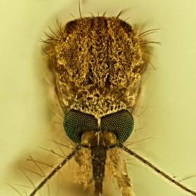 Komáří kukuč