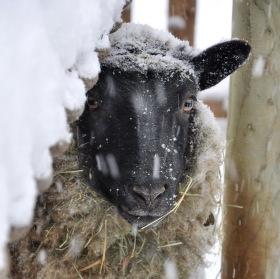Stydlivá ovce