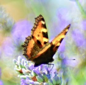 Helios VIII - Louka motýlů