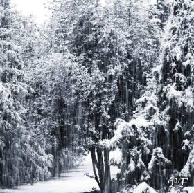 Zasněžený les
