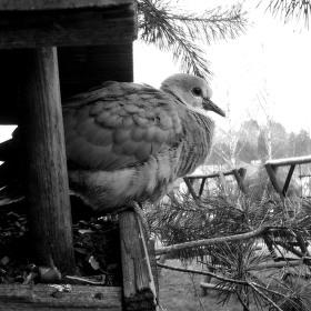 Mládě holuba