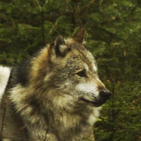 vlk obecný v Bavorském Národním parku