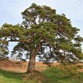 Libáňská borovice.