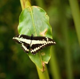 *motýlí neposeda