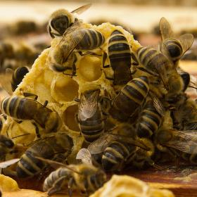 Továrna na med
