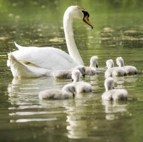 Labuť s labuťátky