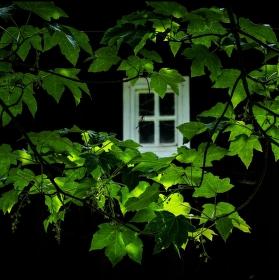 Javor zelený