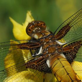 Vážka ploská - samička