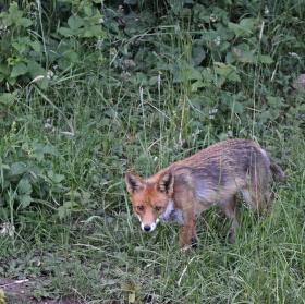 kmotra liška- něco tam asi bude