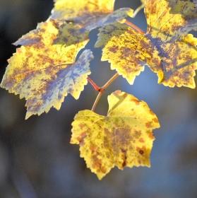 Vinný list