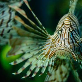 Lví ryba