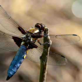 Vážka ploská-Libellula depressa