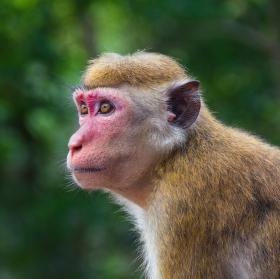 Makak na Sri Lance