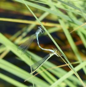 Vážka kroužkovaná