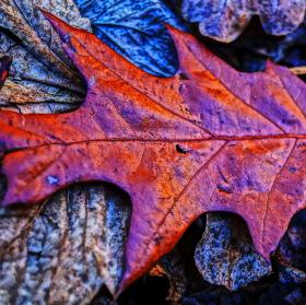 Podzimní list dubu
