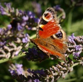 Motýlí levandule