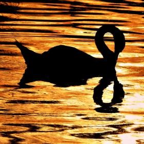 Jitřní černá labuť