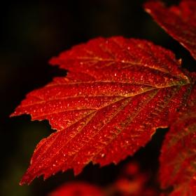Orosené podzimní listí v ranním slunci