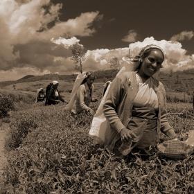 Sběračky čaje Srí Lanka