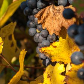 Ve vinohradě