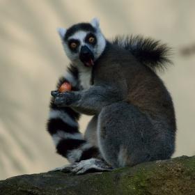 Lemur - Plzeň zoo