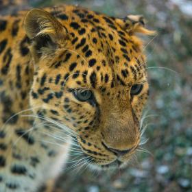 Leopard za sklem