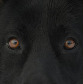 oči německého ovčáka