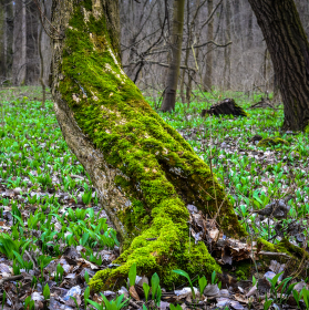 Les s Medvědím česnekem.