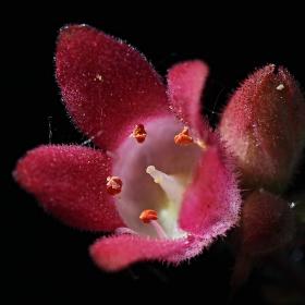 Intimita květu - dlužicha
