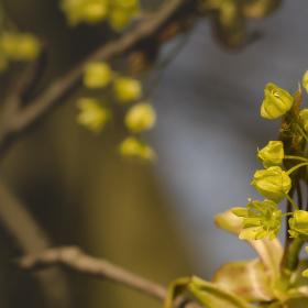 Květ javoru...