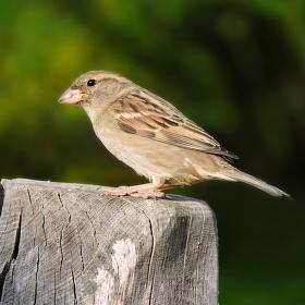 Vrabčák