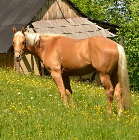 Koník na pastvě.