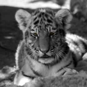 Malý tygřík