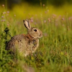 ...Divoký králík...
