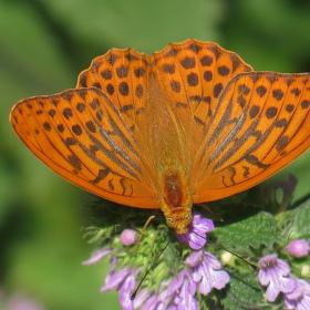 Tygr převlečený za motýla