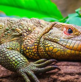 Dracena krokodýlovitá