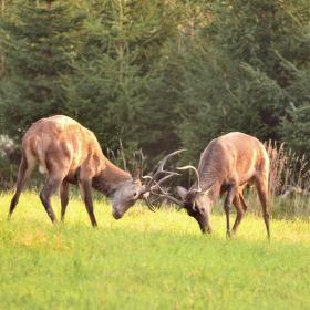 souboj jelenů ,začíná řije