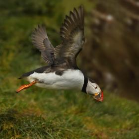 obrázky z islandské přírody 19 aneb ... odlet za účelem rybolovu