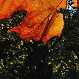 Platanové lístky proti posledním podzimním paprskům