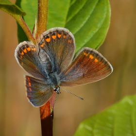 Letní návraty (Aricia agestis)