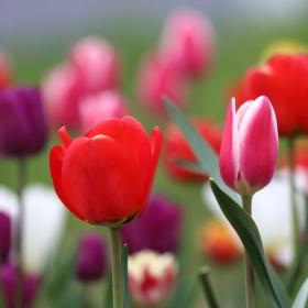 Tulipánů jako když naseje