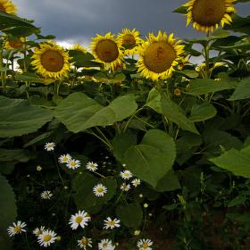 Slunečnice před bouřkou
