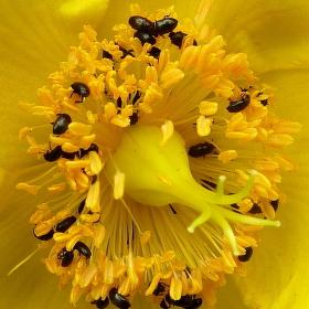 napadena kvetina