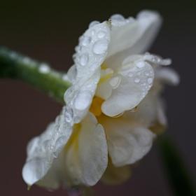 Narciska v dešti