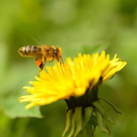 Ze života včely
