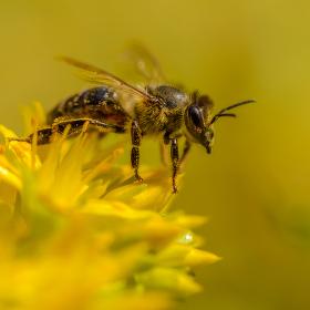 Pilná včelka