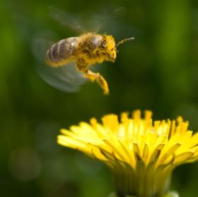 včela v letu